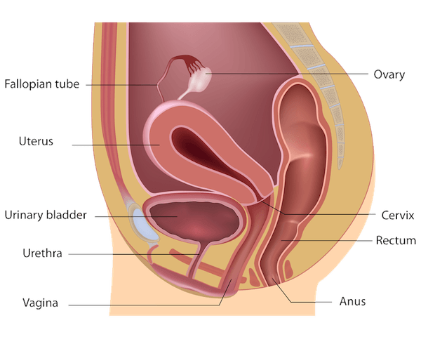 Reproductive system of gastropods  Wikipedia