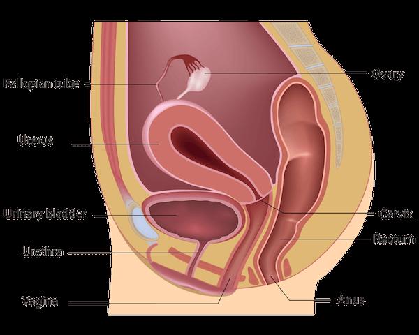 Female reproductive anatomy diagram